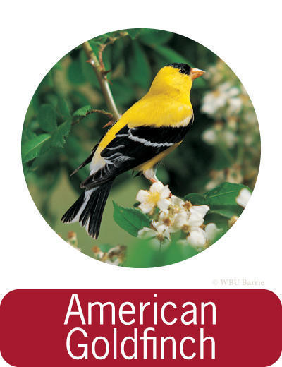 Attracting American Goldfinches ©