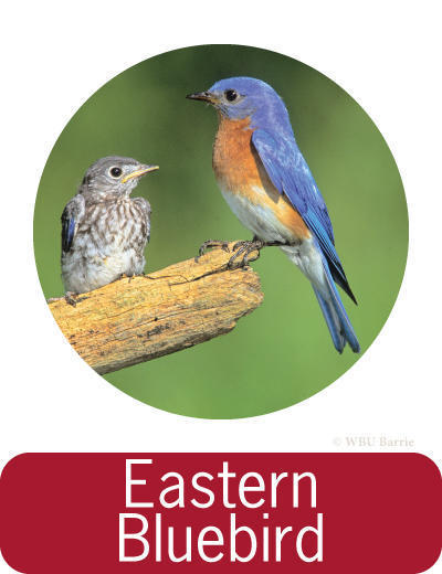 Attracting Eastern Bluebirds ©