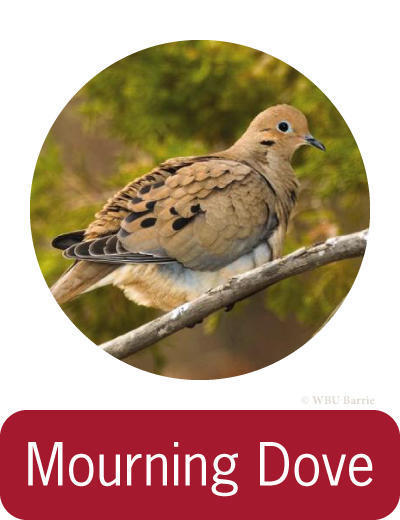 Attracting Mourning Doves ©