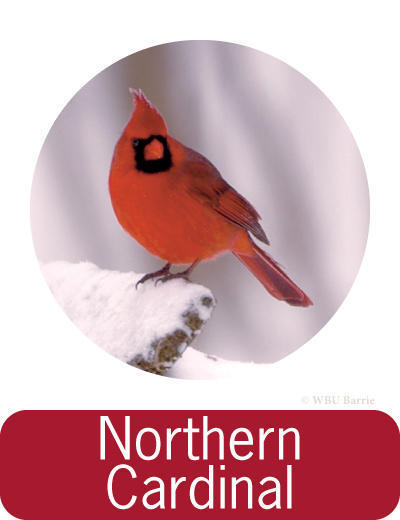 Attracting Northern Cardinals ©