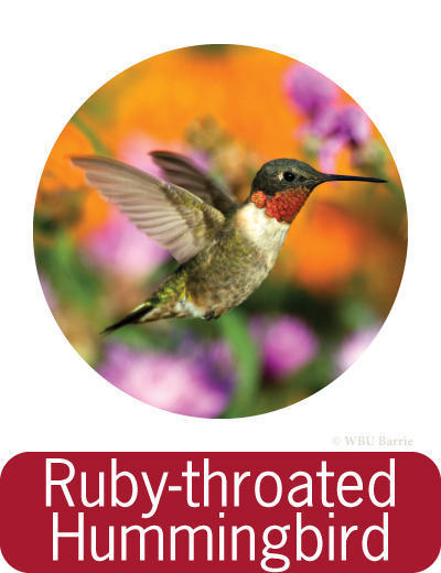 Attracting Ruby-throated Hummingbirds ©